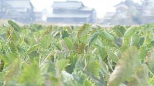 里芋畑が延々と続きます